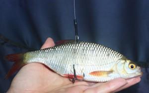 Köderfischmontage für Hecht
